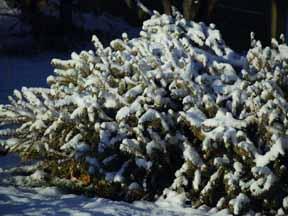 christmas tree wildlife barrier shade garden
