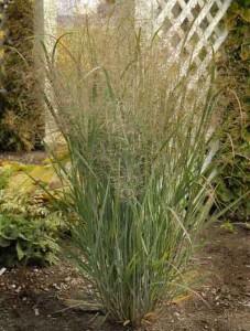 Jardinería orgánica Northwind switchgrass