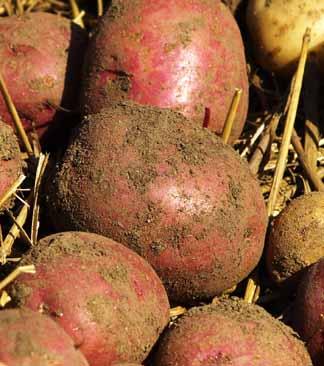 patatas cosechadas del huerto