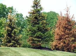 árbol de hoja perenne asesinado por imprelis