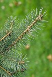 christmas trees blue spruce