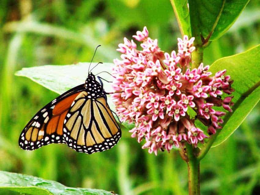 La mariposa monarca se alimenta de algodoncillo