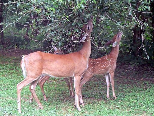 plantas que los conejos y los ciervos no comen