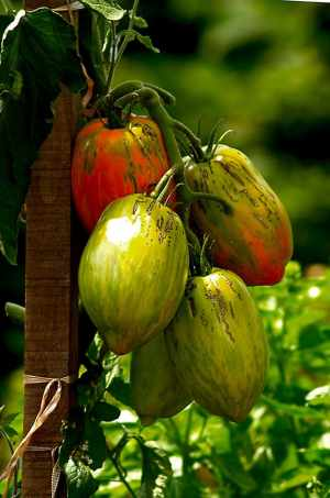 urine as fertilizer for tomatoes
