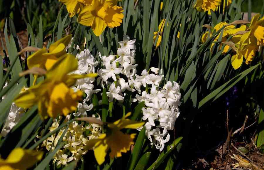 narcisos y jacintos