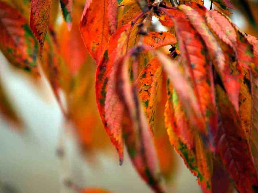 follaje de cerezo llorón