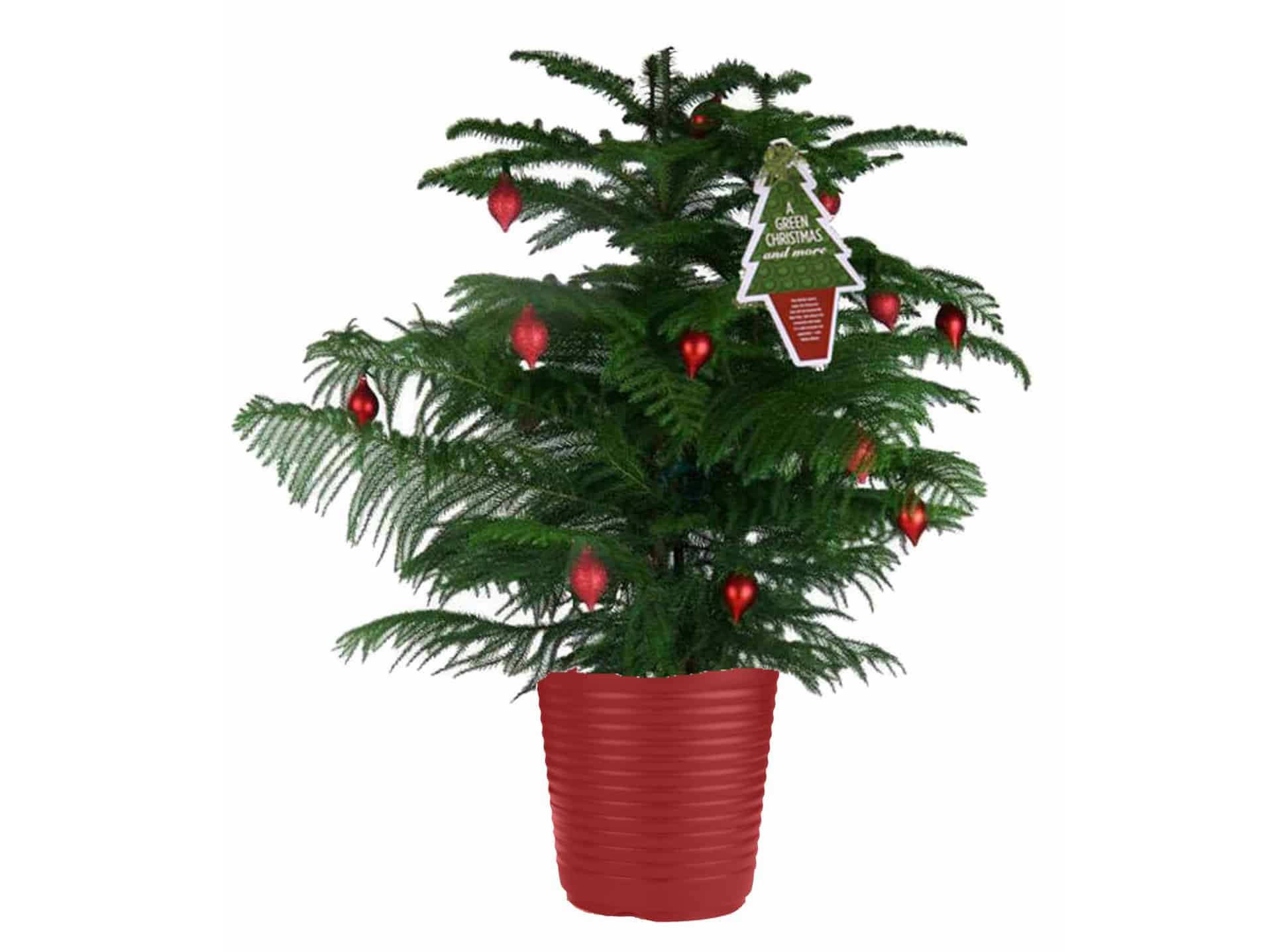 How To Care For a Potted Norfolk Pine ⋆ Big Blog Of Gardening