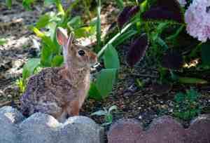 rabbit in flower garden no liquid fence