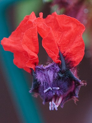 bat faced cuphea flower 10 Of The World's Weirdest Flowers