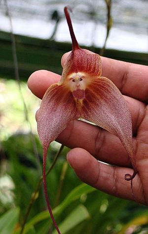 monkey face orchid 10 Of The World's Weirdest Flowers