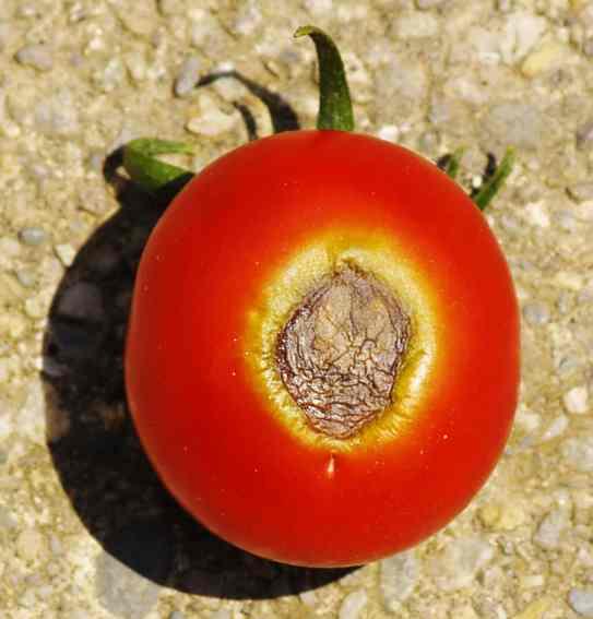 flor de tomate podrido