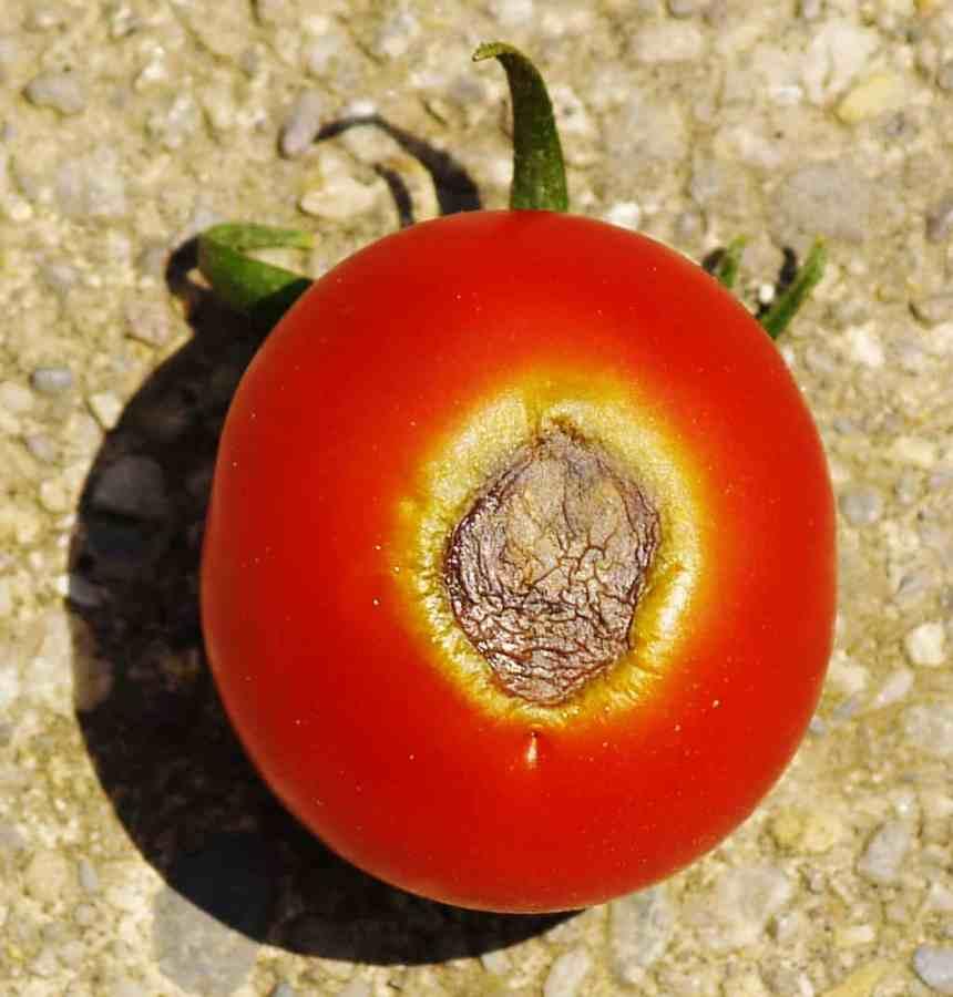 tomate de punta de flor podrida