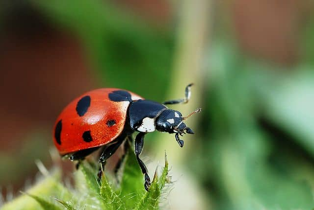 How to Use Beneficial Insects Against Unwanted Insects In
