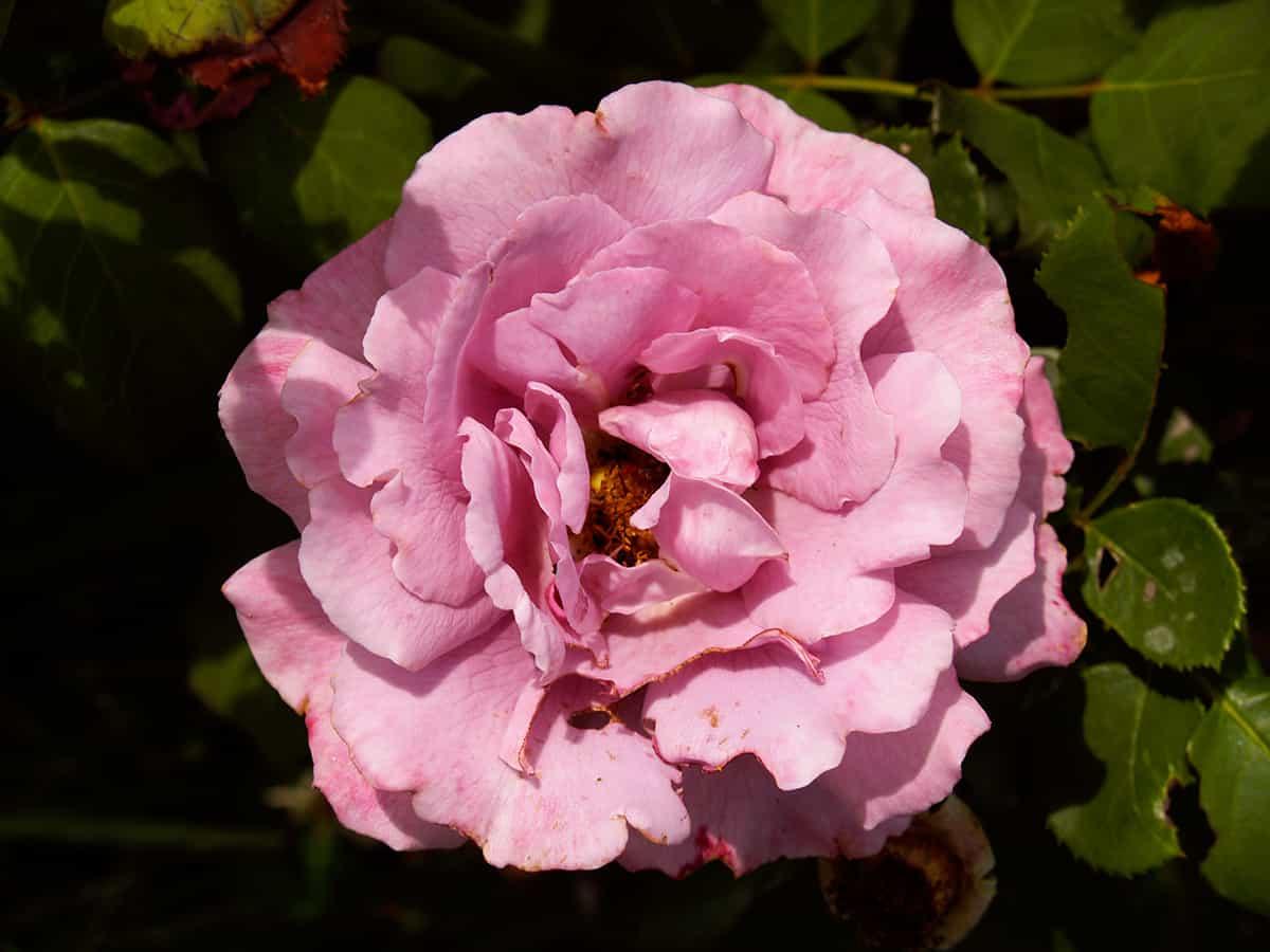 arbusto rosa
