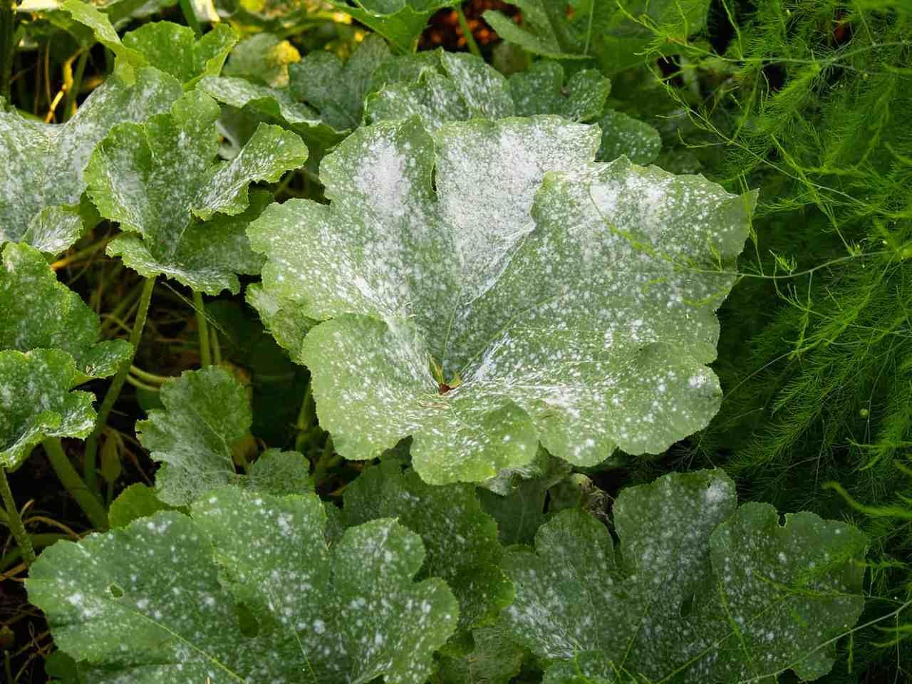 Infección por mildiú polvoriento en calabaza