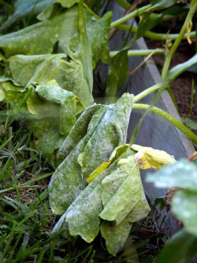 follaje de calabaza muriendo de mildiú polvoriento