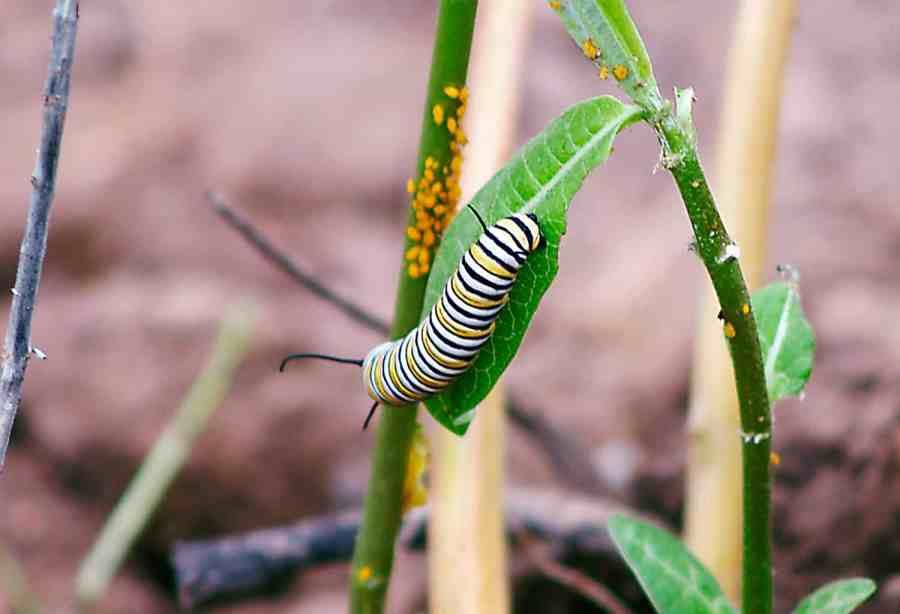 oruga de la mariposa monarca algodoncillo