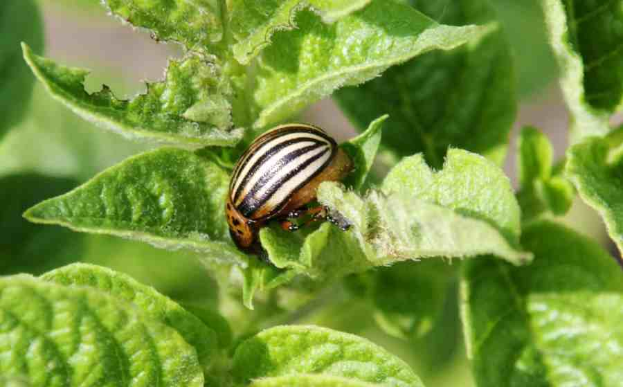 escarabajo de la patata de colorado