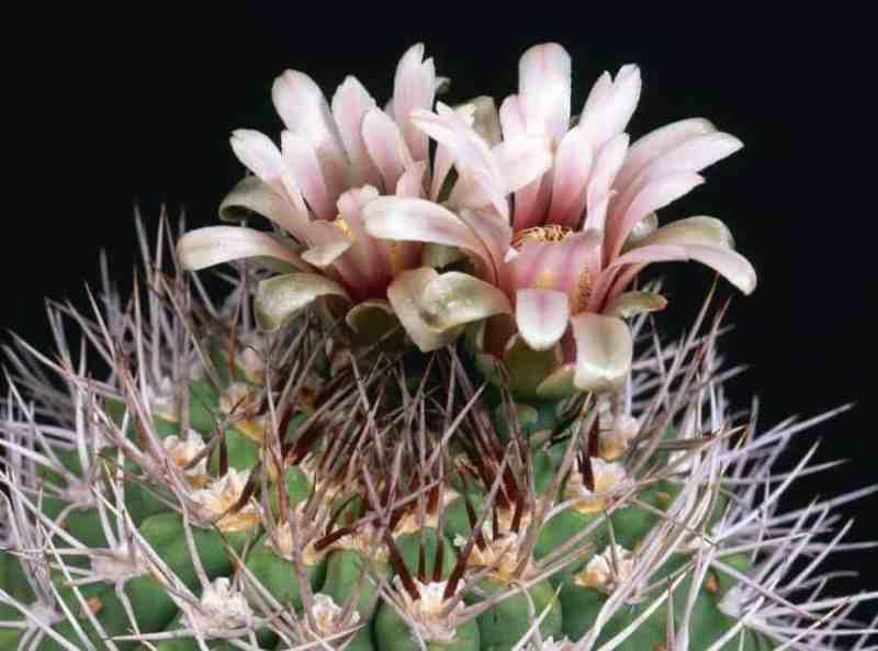 gymnocalycium triacanthum succulent