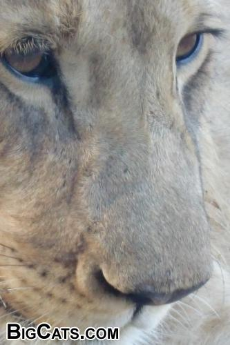 Lion from Zimbabwe