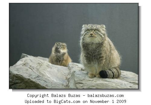 Pictures of Pallas cat Otocolobus manul