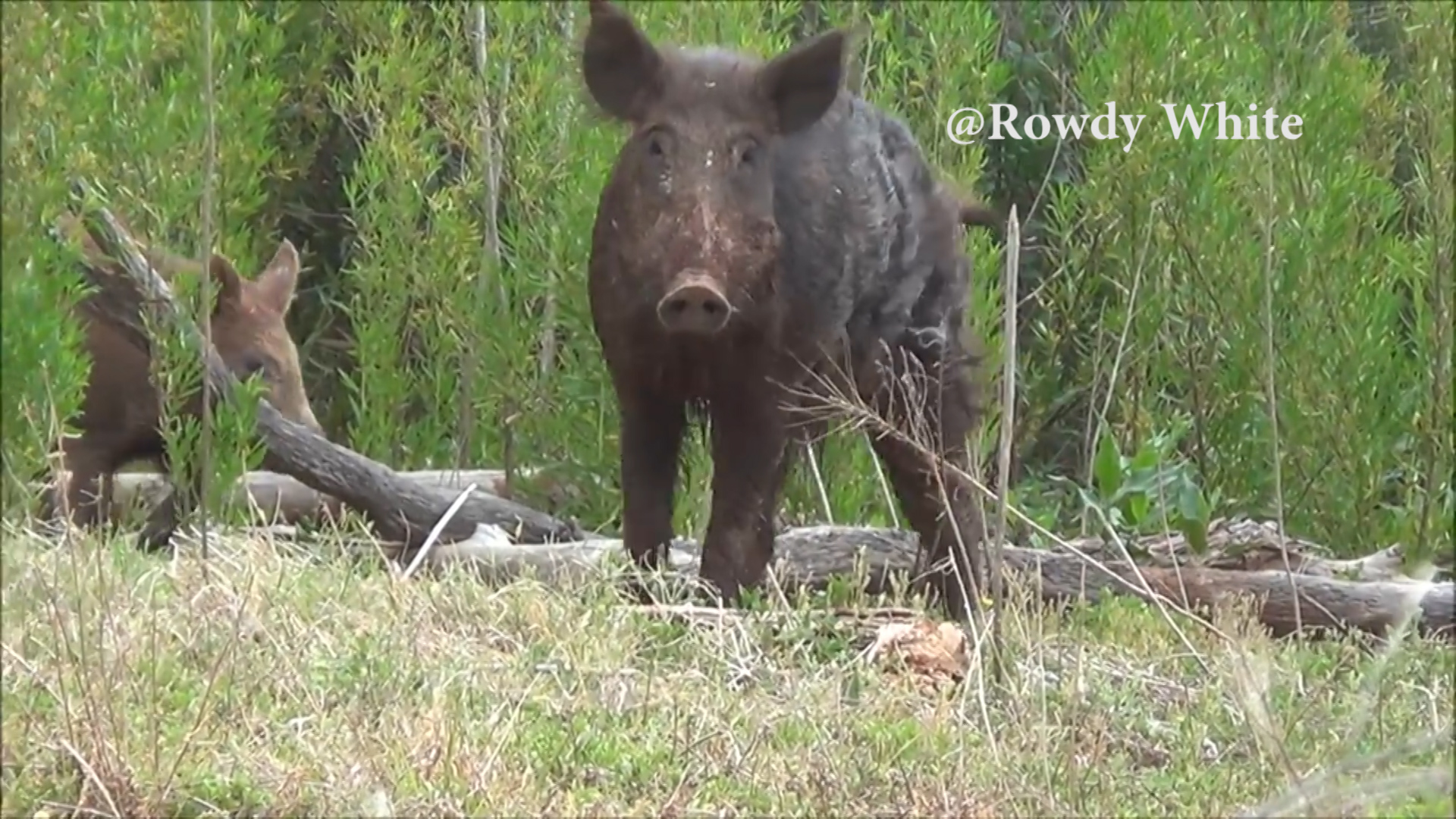 Feral hogs in the Big Country.jpg
