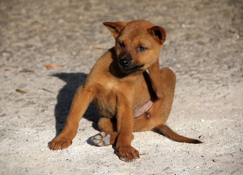 fleas dog scratching