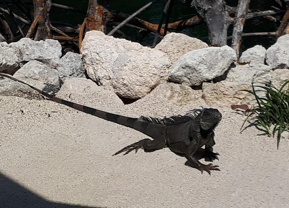 Aquarium Encounters iguana