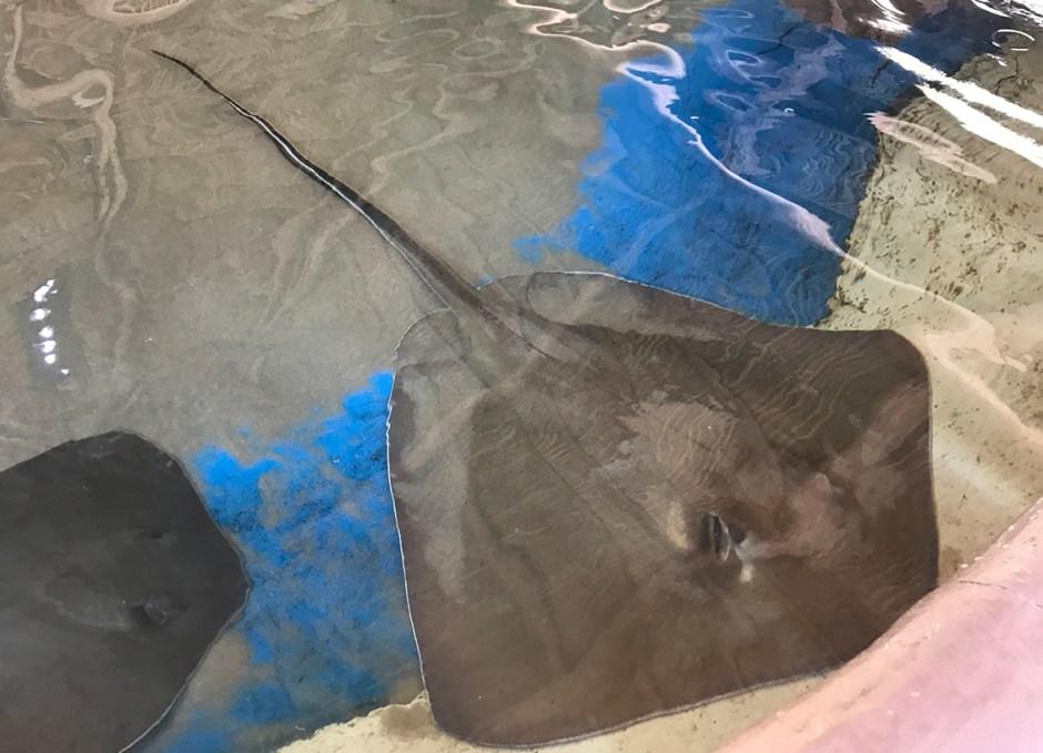Aquarium Encounters stong ray