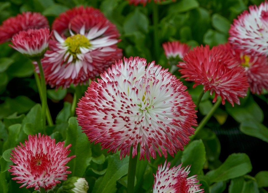Bedding Plants Bellis