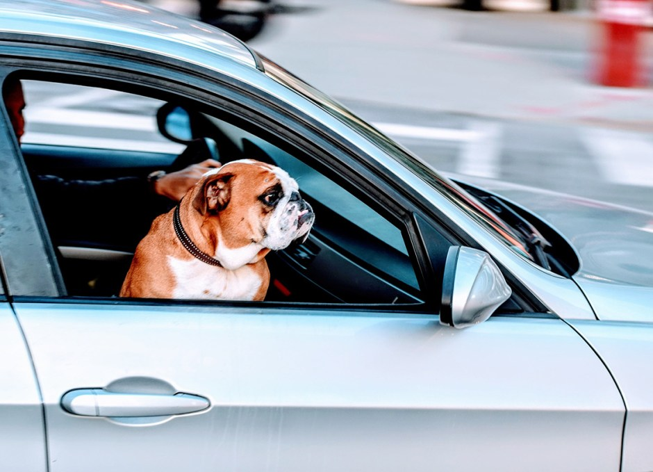Travelling With Pets pug in car