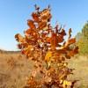 An oak seedling