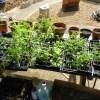 No Joke: 50+ Tomato Plants