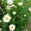 Daisy, Daisy