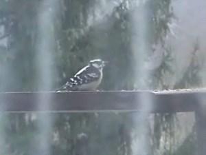 Mrs. Wobbly (female downy woodpecker)