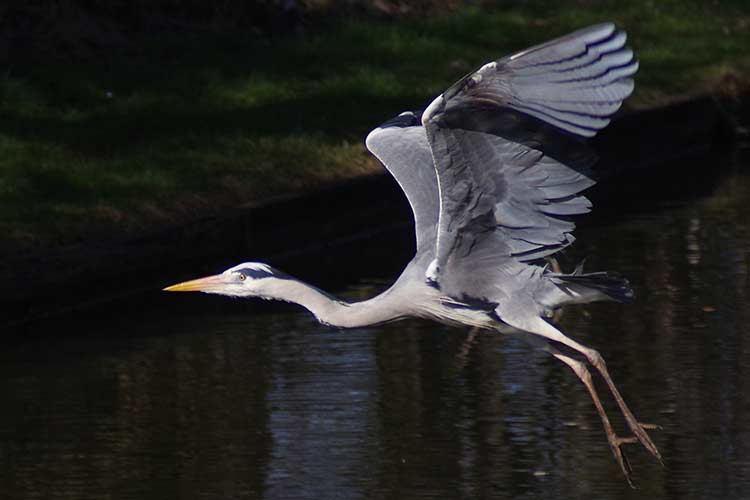 Heron flying in Battersea Park London