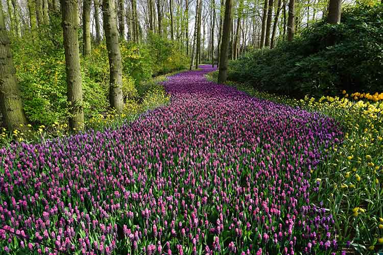 Lavender path through a forest, grass area and other flowers