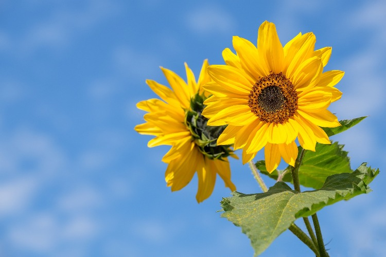 Sunflowers: children gardening