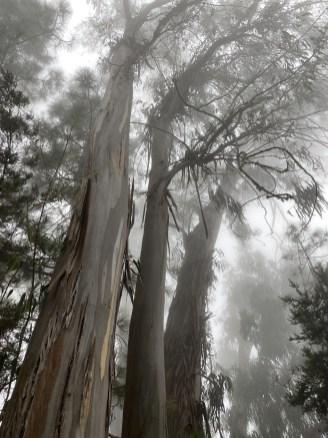 europäischer Eukalyptus