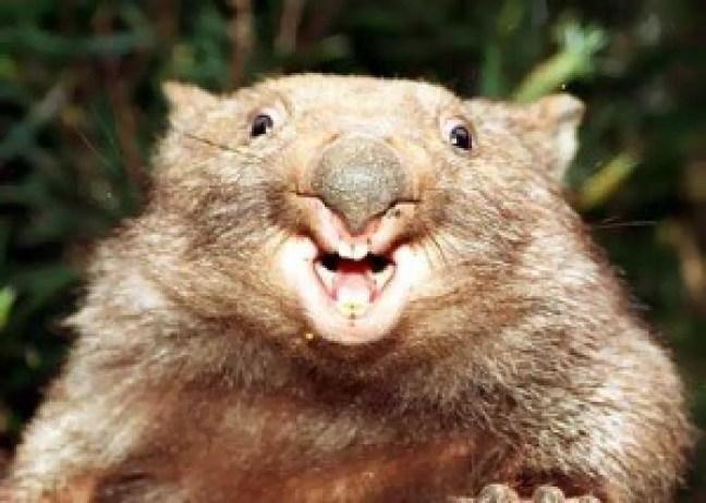 wombat-attack