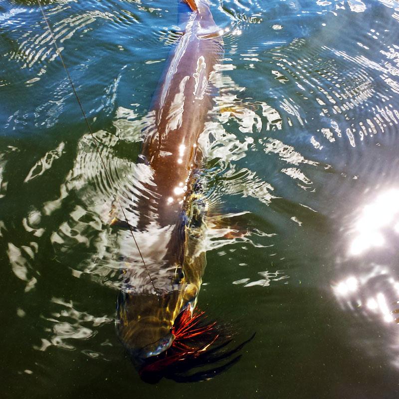 Fly Fishing Muskies in Minnesota