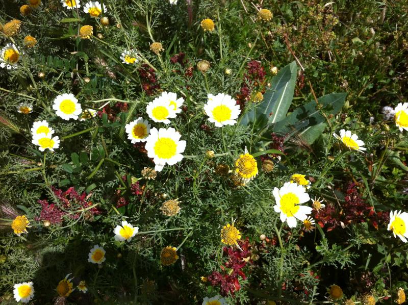wild-flowers-axarquia