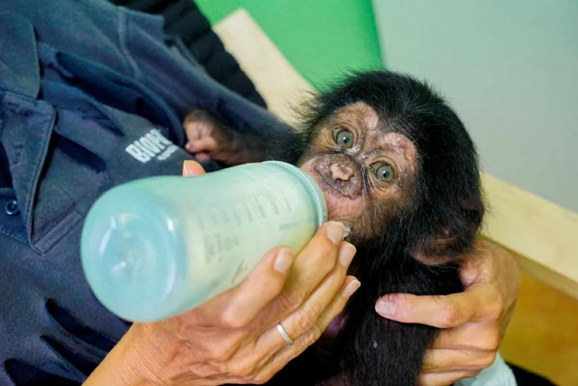 Djibril the chimpanzee cub