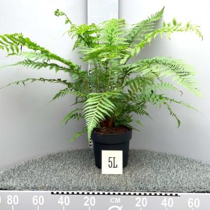 5 litre Dicksonia antactica plants at Big Plant Nursery