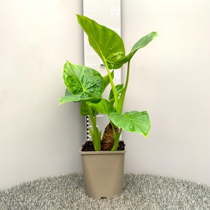 Alocasia macrorrhiza 4.5 litre plant at Big Plant Nursery