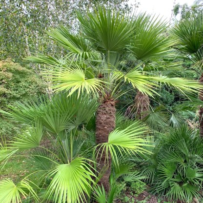 Chamaerops humilis mature plants growing at Big Plant Nursery in West Sussex