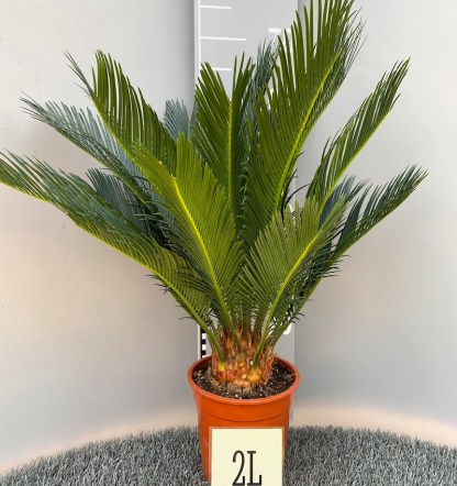Cycas revoluta 2 litre plant at Big Plant Nursery