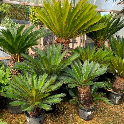 Cycas revoluta group photo of sizes available at Big Plant Nursery