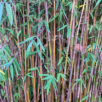 Fargesia Juizhaigou 1 close up of stem colour on a mature plant at Big Plant Nursery