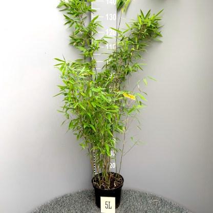 Fargesia 'Viking' 5 litre plant